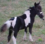 One of Tattoo's Foals