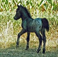 Tracker as a young foal